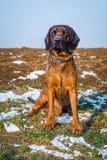 Πορτρέτο ενός σκυλιού sniffer Στοκ Εικόνες