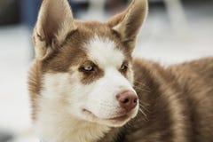 Πορτρέτο ενός σκυλιού γεροδεμένου με τα μπλε μάτια Στοκ εικόνα με δικαίωμα ελεύθερης χρήσης