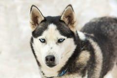 Πορτρέτο ενός σκυλιού γεροδεμένου με τα μπλε μάτια Στοκ Εικόνες