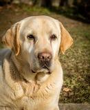 Πορτρέτο ενός σκυλιού του Λαμπραντόρ Στοκ Εικόνες