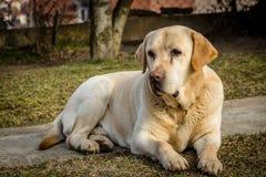 Πορτρέτο ενός σκυλιού του Λαμπραντόρ Στοκ φωτογραφίες με δικαίωμα ελεύθερης χρήσης