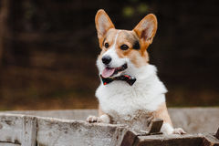 Πορτρέτο ενός σκυλιού Corgi στοκ εικόνα με δικαίωμα ελεύθερης χρήσης