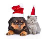 πορτρέτο ενός σκωτσέζικων γατακιού και rottweiler ενός κουταβιού σε κόκκινο Χριστό Στοκ Εικόνες