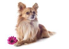 Chihuahua και λουλούδι στοκ φωτογραφία