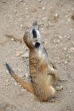 Πορτρέτο ενός χαριτωμένου meerkat που εξετάζει τον ουρανό στοκ εικόνα με δικαίωμα ελεύθερης χρήσης