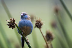 Πορτρέτο ενός όμορφου, αφρικανικού, μικρού πουλιού της ασυνήθιστης συνεδρίασης χρώματος σε έναν κλάδο Στοκ Εικόνα