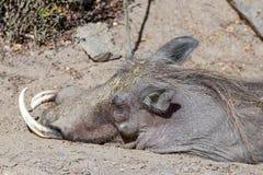 Πορτρέτο ενός ύπνου warthog στοκ φωτογραφίες