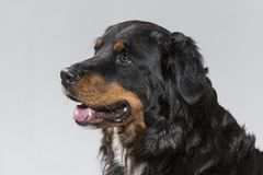 Πορτρέτο ενός Appenzell Sennenhund Στοκ Φωτογραφίες