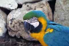 Πορτρέτο ενός ara παπαγάλων στο σχεδιάγραμμα Στοκ Φωτογραφίες