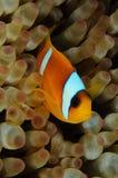 Πορτρέτο ενός bicinctus Twoband Amphiprion anemonefish στη Ερυθρά Θάλασσα Στοκ Εικόνες