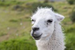 Πορτρέτο ενός llama glama λάμα στοκ εικόνες με δικαίωμα ελεύθερης χρήσης