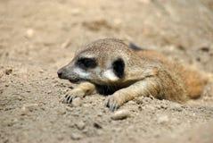 Πορτρέτο ενός meerkat που χαλαρώνει στον ήλιο στοκ φωτογραφίες με δικαίωμα ελεύθερης χρήσης