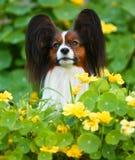 Πορτρέτο ενός Papillon στα κίτρινα λουλούδια και τα πράσινα φύλλα Στοκ φωτογραφίες με δικαίωμα ελεύθερης χρήσης