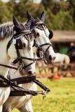 Πορτρέτο ενός Thoroughbred αλόγου αθλητικών επιβητόρων Στοκ Φωτογραφίες