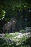 Πορτρέτο ενός timberwolf Στοκ Φωτογραφίες