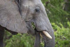 Πορτρέτο ελεφάντων Στοκ Εικόνες