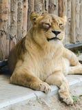 Πορτρέτο λιονταρινών Στοκ Φωτογραφία