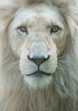 Πορτρέτο λιονταριών Στοκ Φωτογραφίες