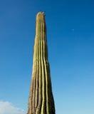 Πορτρέτο κάκτων Saguaro στοκ φωτογραφίες με δικαίωμα ελεύθερης χρήσης
