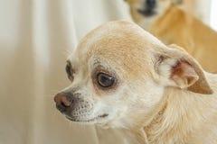 Πορτρέτο κατοικίδιων ζώων Chihuahua Στοκ Εικόνες