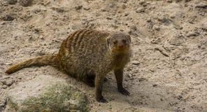Πορτρέτο κινηματογραφήσεων σε πρώτο πλάνο ενωμένο mongoose, λατρευτό τροπικό ζωικό specie από την Αφρική, δημοφιλή κατοικίδια ζώα στοκ φωτογραφία με δικαίωμα ελεύθερης χρήσης