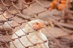 Πορτρέτο κινηματογραφήσεων σε πρώτο πλάνο ενός άσπρου κοτόπουλου στοκ φωτογραφίες με δικαίωμα ελεύθερης χρήσης
