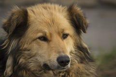 Πορτρέτο κινηματογραφήσεων σε πρώτο πλάνο ενός καφετιού άστεγου δασύτριχου σκυλιού με μια ετικέτα στο αυτί του που βρίσκεται στην στοκ φωτογραφία