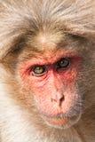 πορτρέτο κινηματογραφήσεων σε πρώτο πλάνο καπό macaque Στοκ εικόνα με δικαίωμα ελεύθερης χρήσης