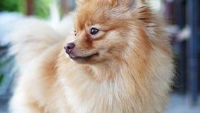 Πορτρέτο κινηματογραφήσεων σε πρώτο πλάνο κόκκινο Spitz Pomeranian, γλειψίματα απόθεμα βίντεο