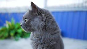 Πορτρέτο κινηματογραφήσεων σε πρώτο πλάνο μιας γκρίζας γάτας με τα μεγάλα πράσινα μάτια απόθεμα βίντεο