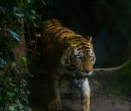 Πορτρέτο κινηματογραφήσεων σε πρώτο πλάνο μιας σιβηρικής τίγρης που περπατά κοντά, διακυβευμένο ζώο από τη Σιβηρία στοκ εικόνες
