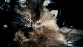 Πορτρέτο κινηματογραφήσεων σε πρώτο πλάνο της ενήλικης εσωτερικής γάτας που γλείφει τη χνουδωτή τρίχα του σε σε αργή κίνηση απόθεμα βίντεο