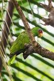 Πορτρέτο κινηματογραφήσεων σε πρώτο πλάνο του ανοικτό πράσινο παπαγάλου σε ένα δέντρο Στοκ Φωτογραφία