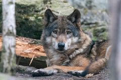 Πορτρέτο κινηματογραφήσεων σε πρώτο πλάνο του γκρίζου λύκου που βρίσκεται στο έδαφος στοκ εικόνες