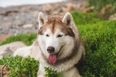 Πορτρέτο κινηματογραφήσεων σε πρώτο πλάνο του πανέμορφου μπεζ και άσπρου σιβηρικού γεροδεμένου σκυλιού που βρίσκεται στη χλόη θάλ στοκ εικόνα