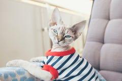 Πορτρέτο κινηματογραφήσεων σε πρώτο πλάνο μιας αστείας γάτας του Devon Rex με τα μπλε μάτια, στοκ φωτογραφία
