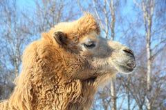 Καμήλα στο ζωολογικό κήπο Στοκ Εικόνες