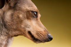 Πορτρέτο κινηματογραφήσεων σε πρώτο πλάνο του προσώπου σκυλιών Στοκ Φωτογραφία