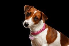 Πορτρέτο κινηματογραφήσεων σε πρώτο πλάνο του σκυλιού του Jack Russell στο απομονωμένο μαύρο υπόβαθρο Στοκ Φωτογραφίες