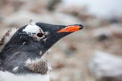 Πορτρέτο κινηματογραφήσεων σε πρώτο πλάνο του gentoo penguin στο κλίμα φύσης Στοκ Φωτογραφία