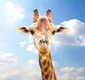 Πορτρέτο κινηματογραφήσεων σε πρώτο πλάνο giraffe Στοκ Εικόνες