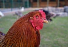 Πορτρέτο κοκκόρων Κόκκινος κόκκορας στο αγρόκτημα στοκ φωτογραφία με δικαίωμα ελεύθερης χρήσης