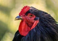 πορτρέτο κοτόπουλου Cockerel στην αγροτική κινηματογράφηση σε πρώτο πλάνο στοκ φωτογραφία