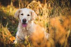 Πορτρέτο λατρευτό χρυσό retriever φυλής σκυλιών που βρίσκεται στο δάσος φθινοπώρου στο ηλιοβασίλεμα στοκ φωτογραφίες