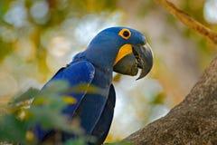 Πορτρέτο λεπτομέρειας του όμορφου μεγάλου μπλε παπαγάλου στο βιότοπο φύσης Macaw στην τρύπα φωλιών Να τοποθετηθεί συμπεριφορά Υάκ Στοκ Φωτογραφία