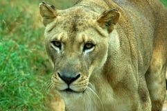 πορτρέτο λιονταρινών στοκ φωτογραφίες με δικαίωμα ελεύθερης χρήσης