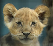 πορτρέτο λιονταριών μωρών Στοκ Εικόνα
