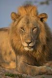 πορτρέτο λιονταριών Στοκ φωτογραφία με δικαίωμα ελεύθερης χρήσης