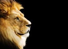 πορτρέτο λιονταριών Στοκ εικόνα με δικαίωμα ελεύθερης χρήσης