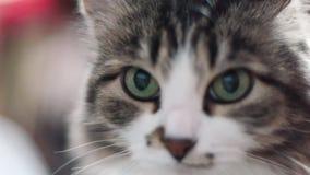 Πορτρέτο λυπημένου γκρίζου στενού ενός επάνω γατακιών συνδετήρας Κινηματογράφηση σε πρώτο πλάνο του τιγρέ προσώπου γατών Υπόβαθρο απόθεμα βίντεο